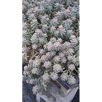 Risalana Hopkins Sedum, Succulents, 4in Potted Succulents, Sedum Hopkins : Garden & Outdoor