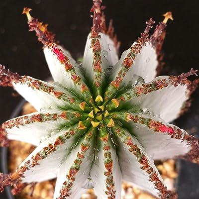 Euphorbia polygona Snowflake Cactus Cacti Succulent Real Live Plant : Garden & Outdoor