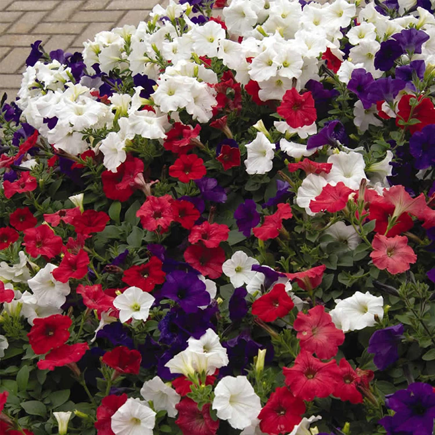 Petunia - Easy Wave Flower Garden Seed - 100 Pelleted Seeds - Flag Mix Blooms - Annual Flowers - Spreading Low Growing Petunias