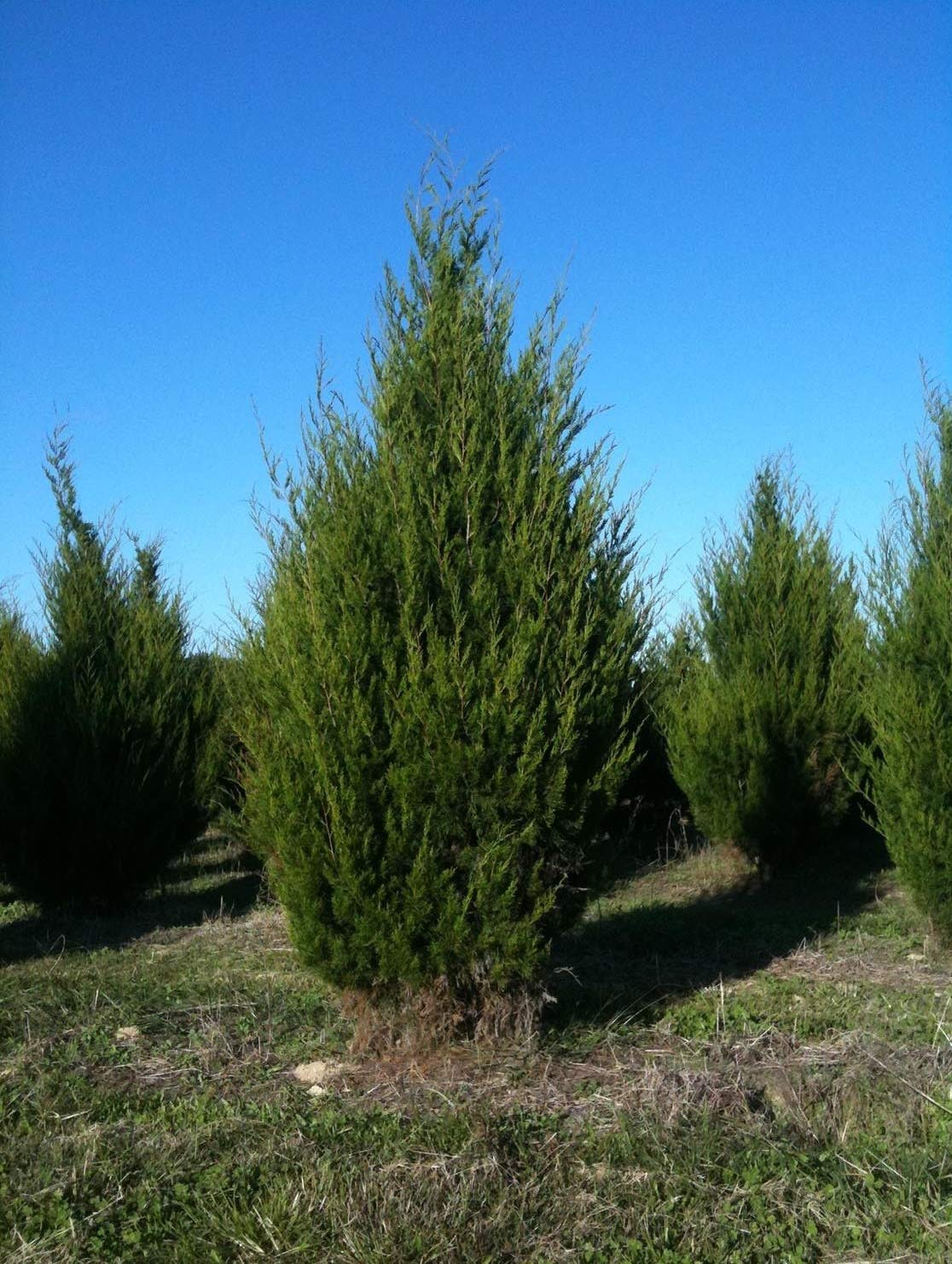 Eastern Red Cedar Established Juniperus Virginiana 12 Plants Roots #GS01