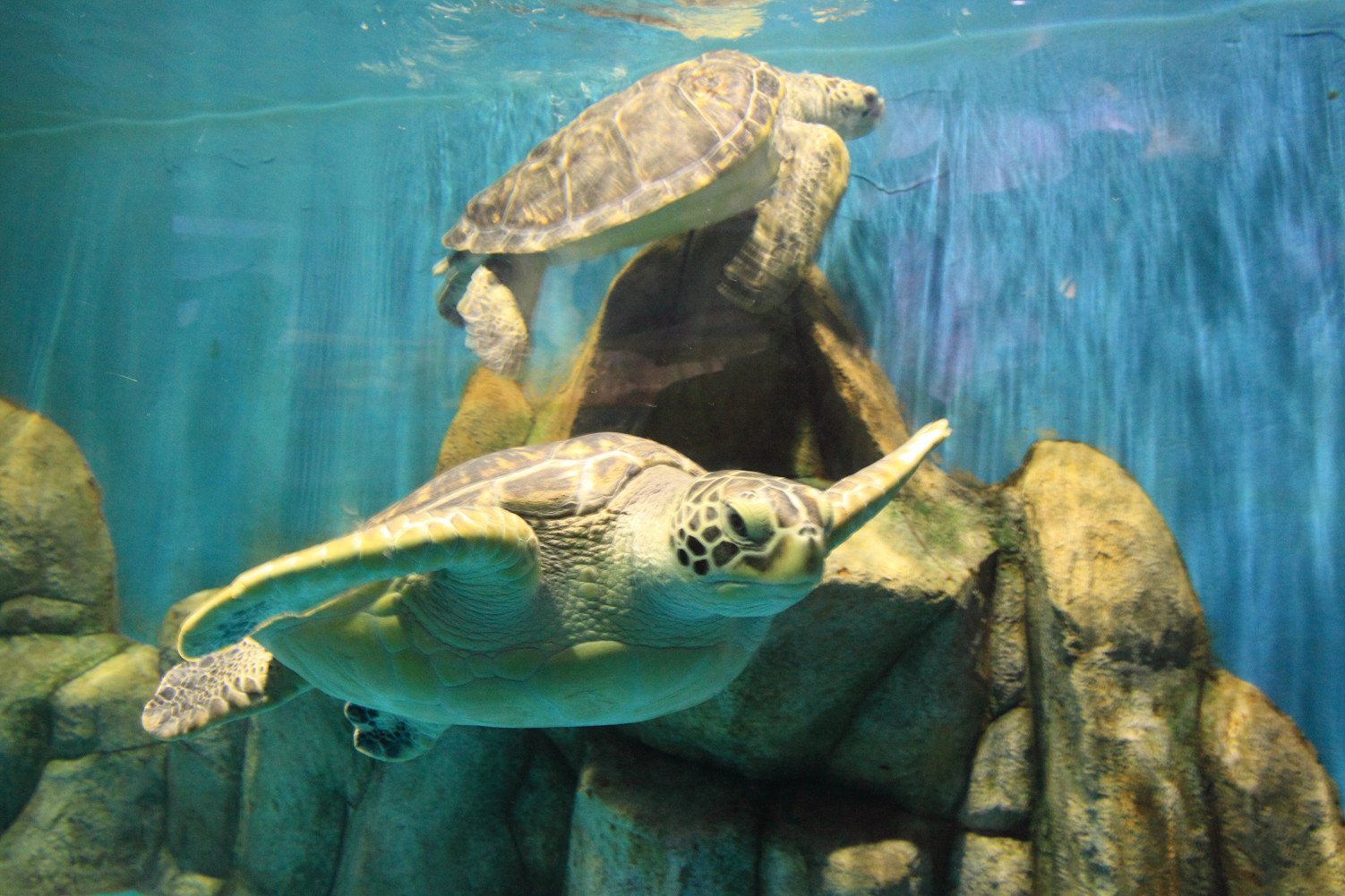 CHOIS Custom Films CF3062 Animal Tortoise Seaturtle Water Glass Window Frosted 4' W by 3' H by CHOIS