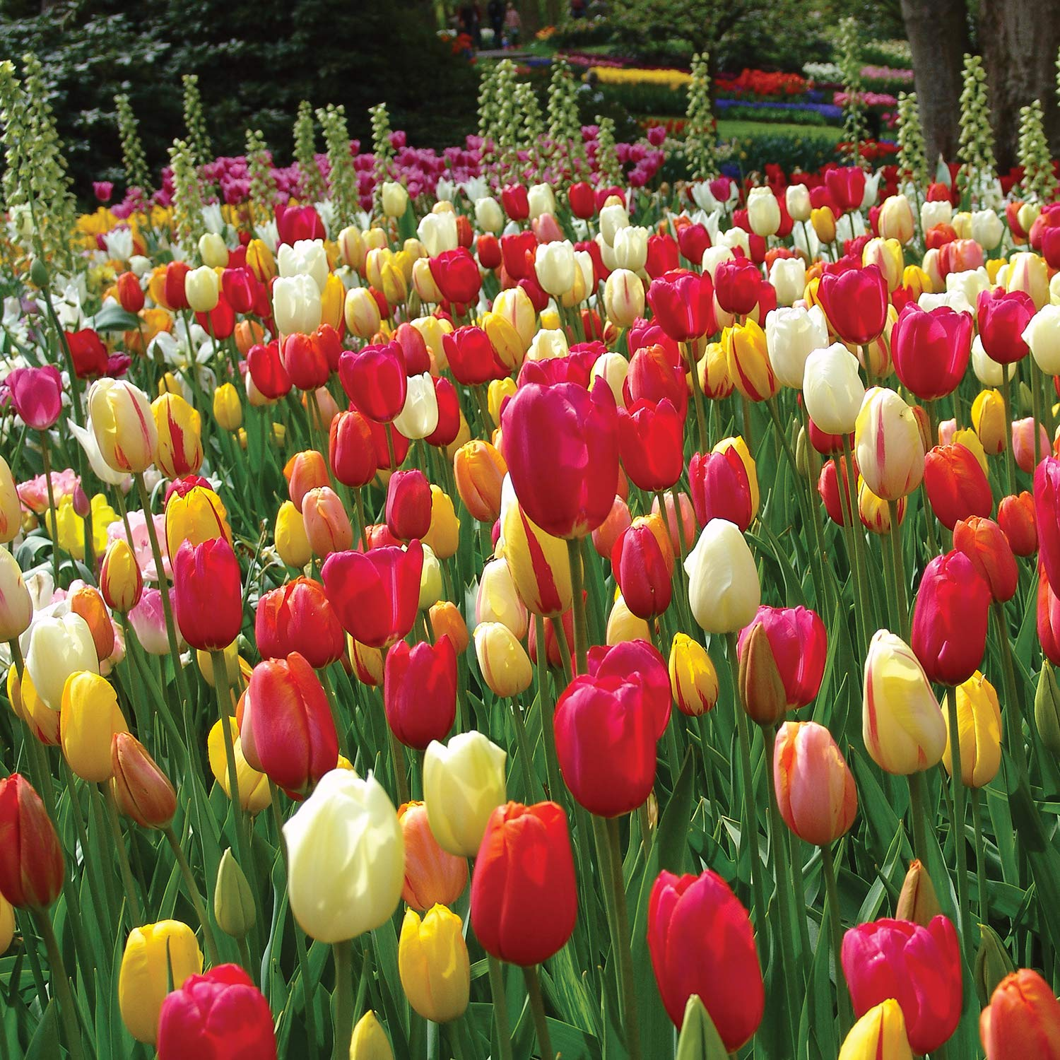 Burpee's Single Late Tulip Mix - 10 Flower Bulbs | Multiple Colors | 12 - 14cm Diameter