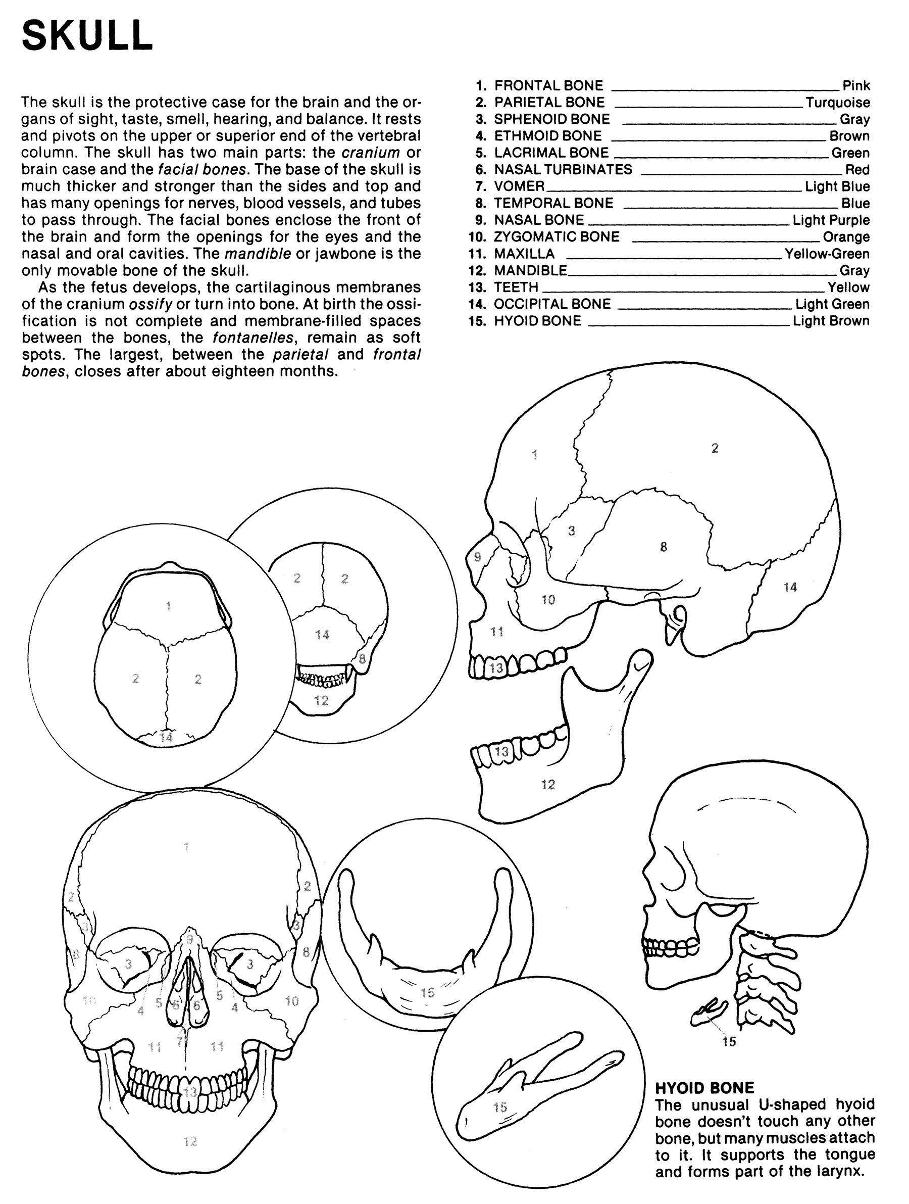 Human Anatomy Coloring Book An Entertaining And Instructive Guide To The Human Body Bones Muscles Blood Nerves And How They Work Coloring Books Dover Children S Science Books Matt Margaret Ziemian Joe
