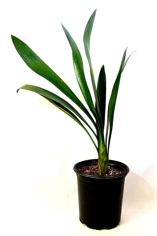 Amazoncom 9GreenBox Good Hope Clivia Plant 1 Gallon Garden