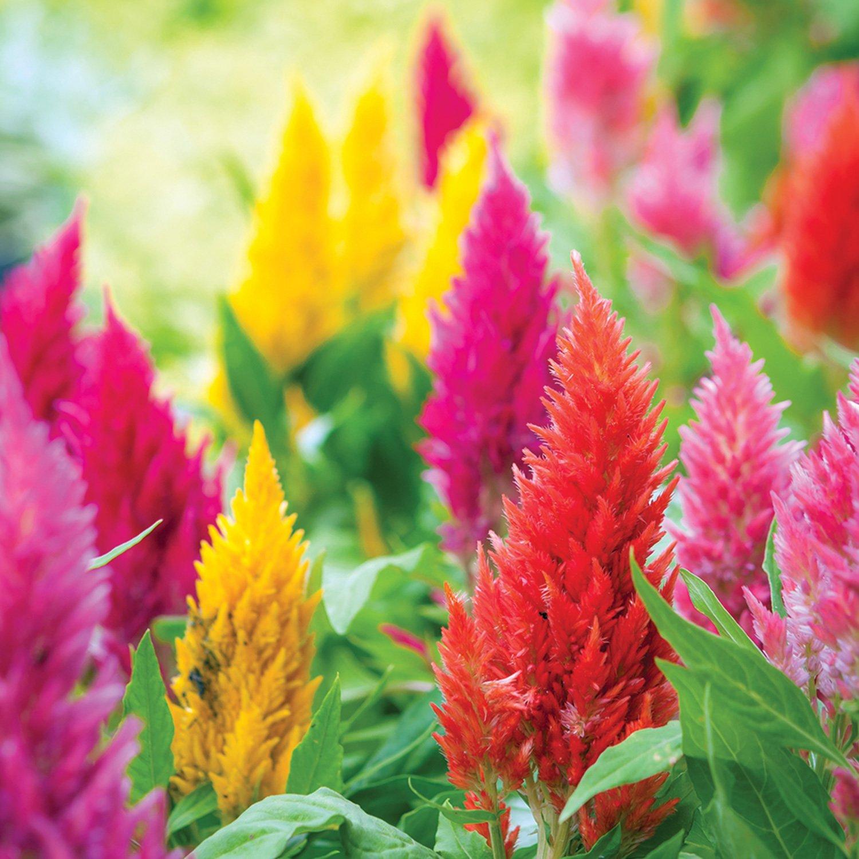 AeroGarden Rainbow Fire Celosia Seed Pod Kit