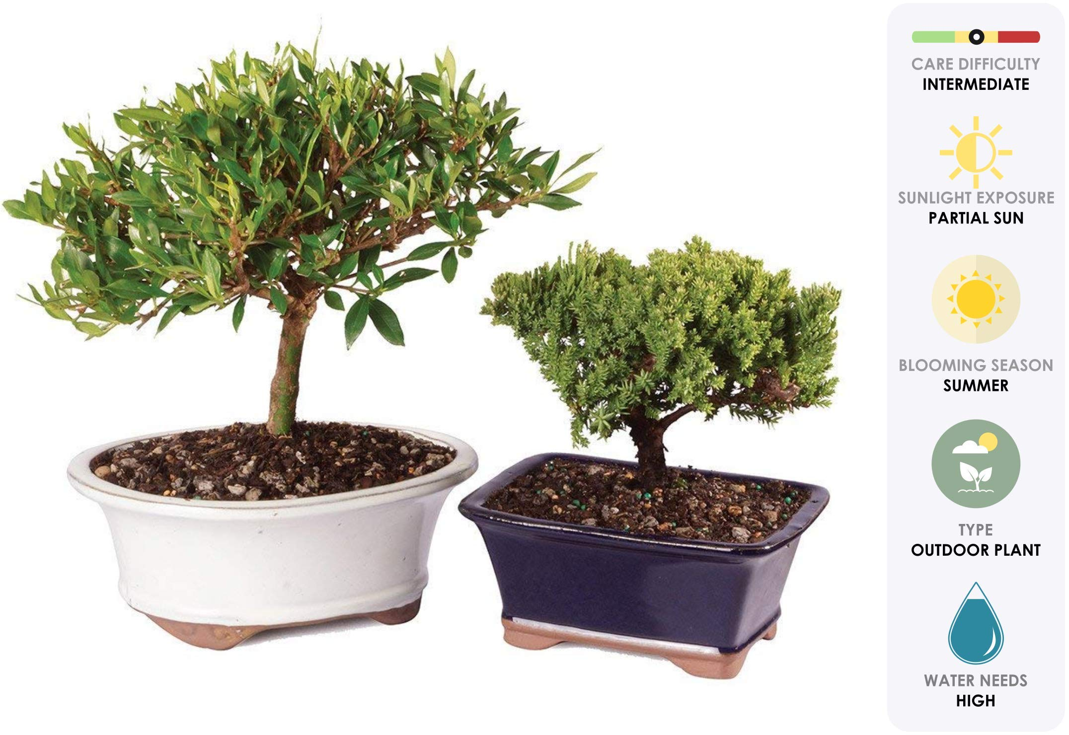 Brussel's Live Gardenia and Green Mound Juniper Outdoor Bonsai Tree Set - 3 Years Old; 4'' to 6'' Tall with Decorative Container