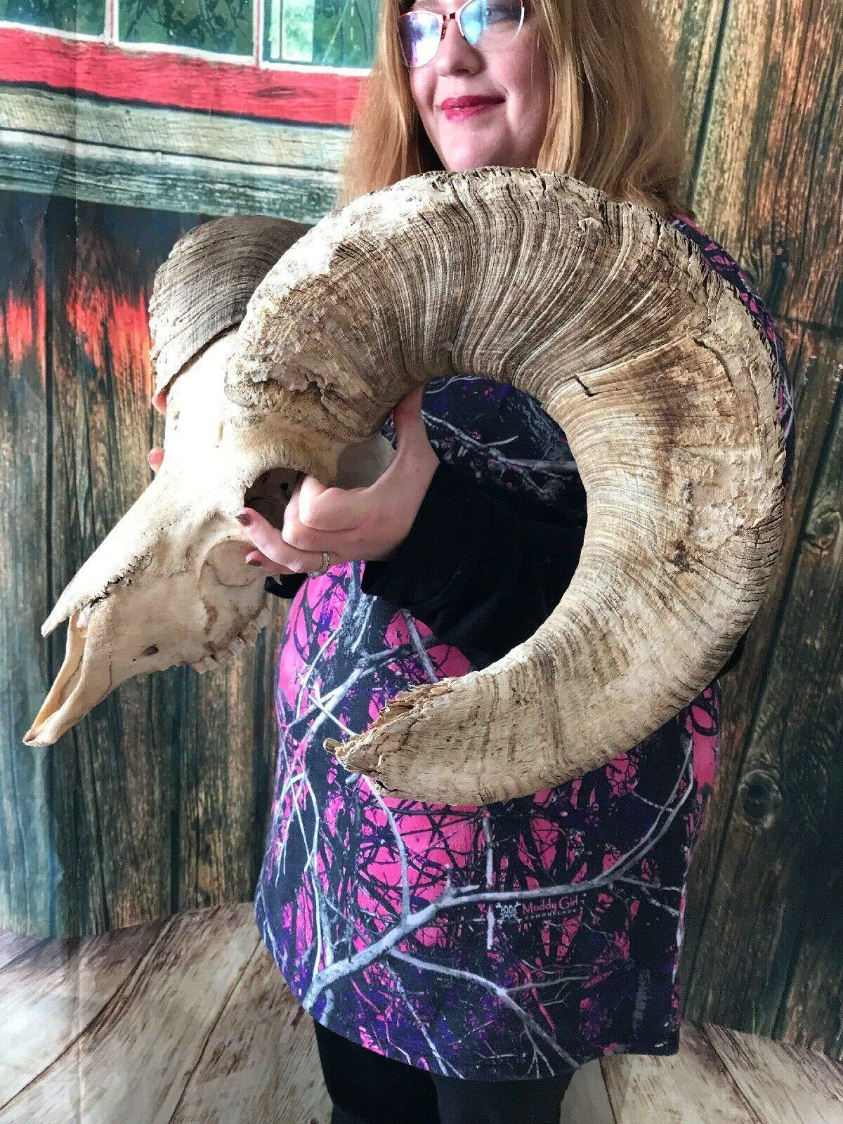 Real Rare Big Horn Sheep Skull Ram Animal Mount Unique Gift Head Art Cape