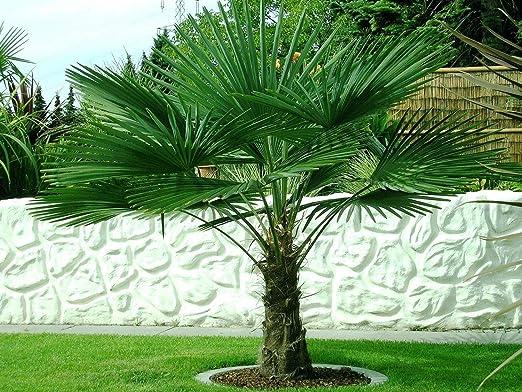 Winterharte Palmen: Frostharte Hanfpalme