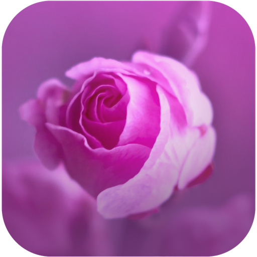 Beautiful Roses Wallpaper (Beautiful Roses Wallpapers)