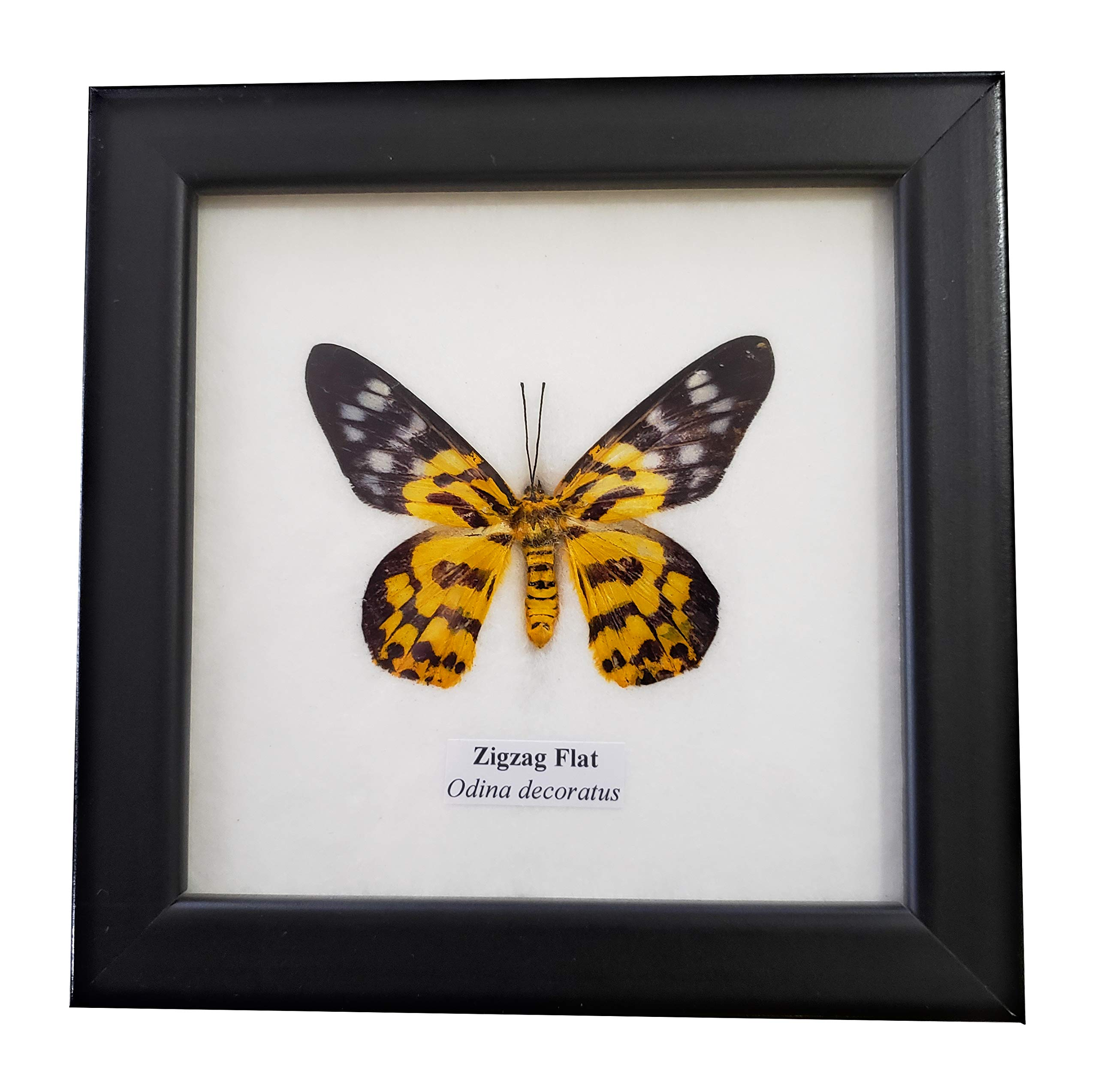 Real Framed Zigzag Flat Butterfly