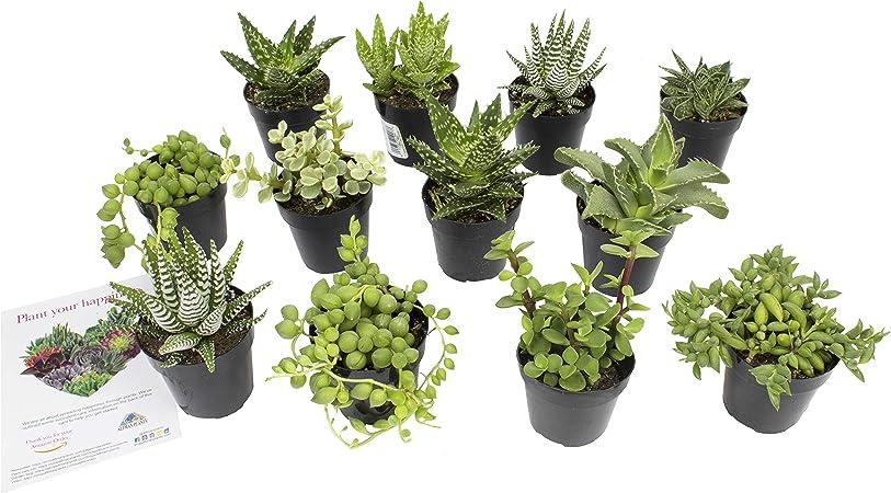 Amazon Com Altman Plants Assorted Live Succulents Desk Buddy