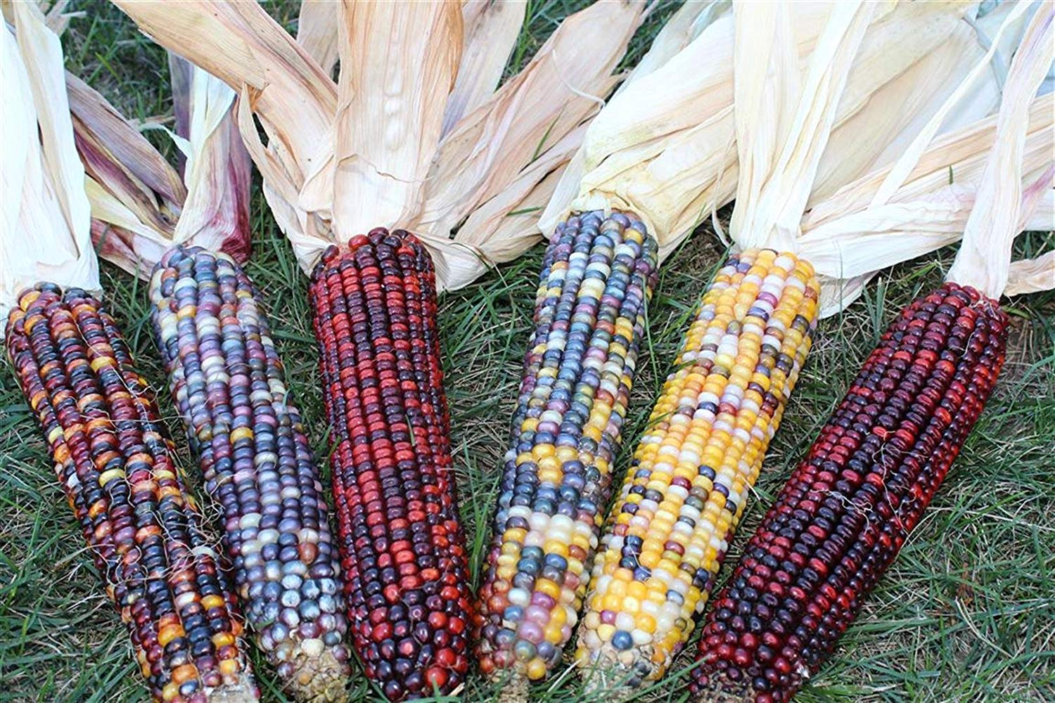 Decorative Indian Corn - 5 to 6 Ears with Husk - Each Ear 6 to 10 inches Long - Ornamental by Noteboom Farms LLC (Image #3)