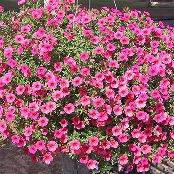 FOReverweihuajz - 100 unidades de semillas de flores de ...