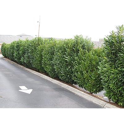 25 Schip Laurel Plants(Prunus Laurocerasus 'schipkansis' : Garden & Outdoor