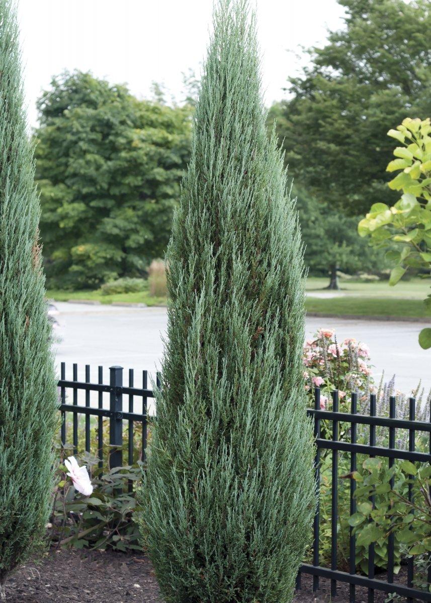 Sandys Nursery Online Juniperus scopulorum 'Blue Arrow' 4 inch Pot Lot of 20 by Sandys Nursery Online (Image #2)