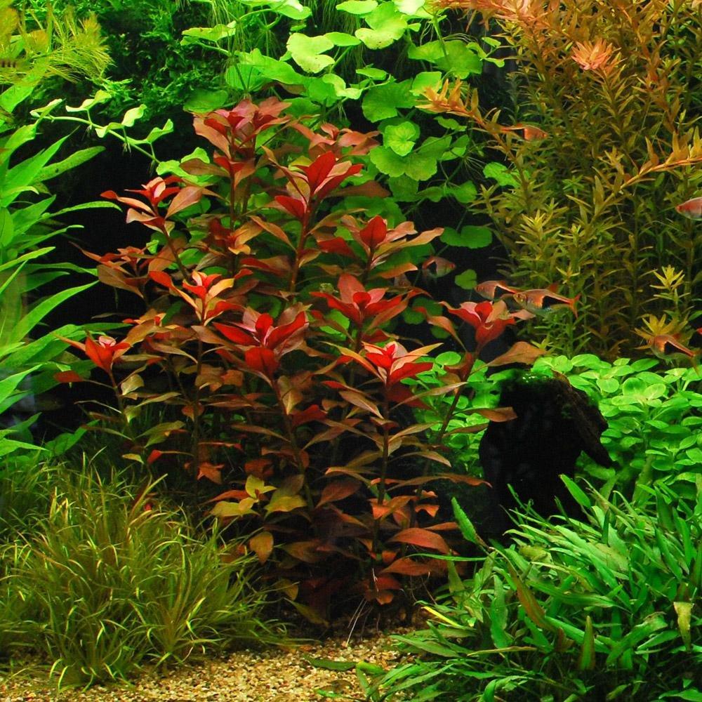 75+ stems / 6 species Live Aquarium Plants Package - Anacharis, Amazon and more! (75+ Gallon Aquariums) by Aquarium Plants Discounts