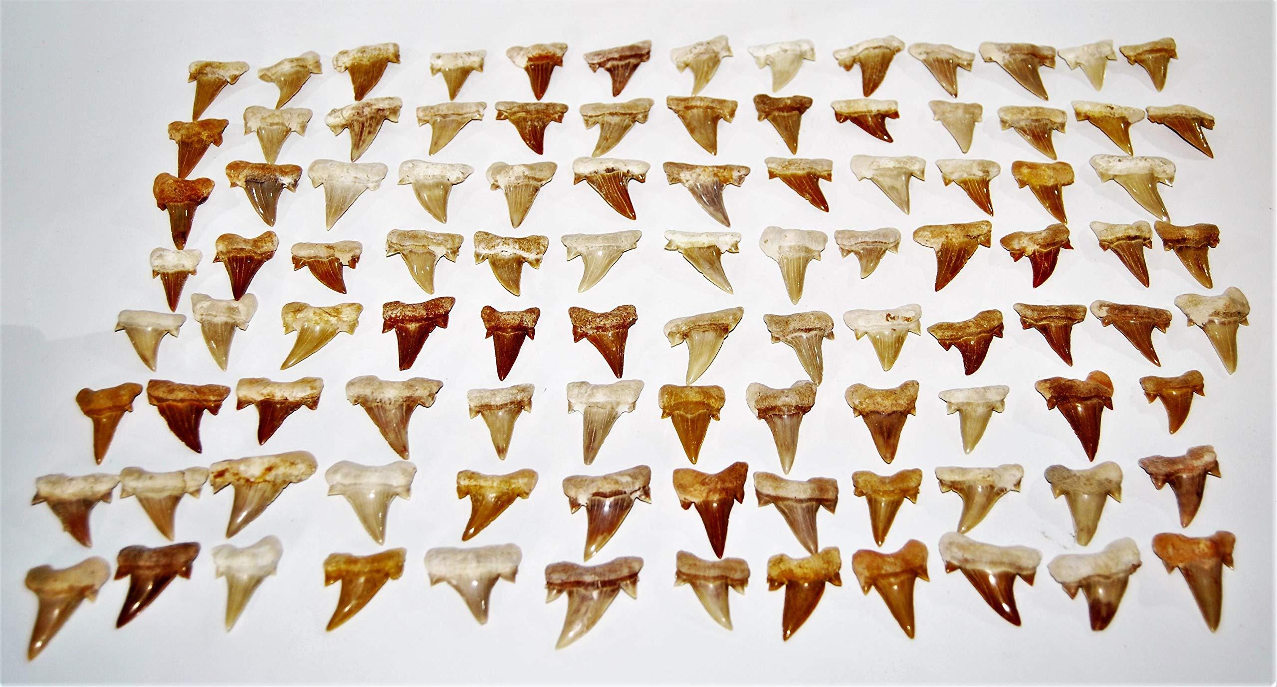 OTODUS Shark Tooth Real Fossils ¾-1 Inch (S) Lot of 100 Teeth B Grade 14512