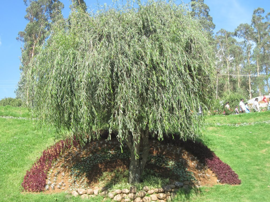 (1 gallon) WEEPING WILLOW TREE,drooping branches give the tree a distinctive shape 171387064946