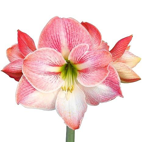 Amazon Pink Amaryllis Apple Blossom Large 30 32 Cm