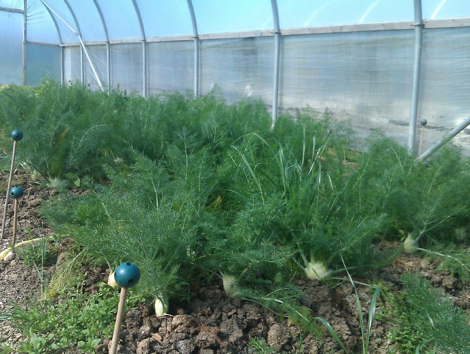 Florence Fennel Microgreens or Vegetable Seeds 6400 Heirloom Herb #198