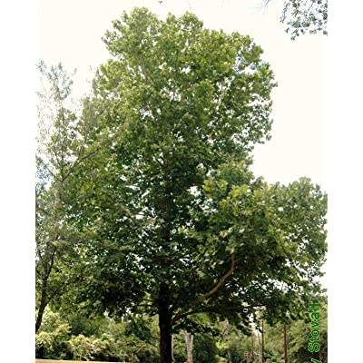 Live Plants 2 American Sycamore Trees Platanus Occidentalis Plane Buttonwood Tress Plant NLL-RR : Garden & Outdoor
