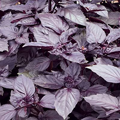 Dark Purple Opal Basil- 200 Seeds -Aromatic Herb -Market Or Home Gardening- Wholesome -Non GMO- Indoors Or Out-Z : Garden & Outdoor