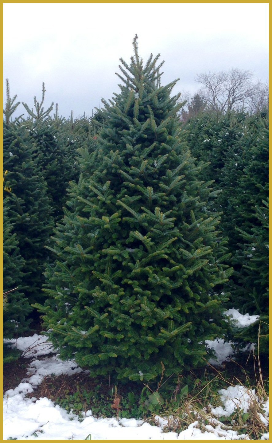 Grand Fir Christmas Tree - 5.5 - 6 ft. Blue Ridge Mountains - Real, Live Fraser Fir Christmas Tree (Fresh-Cut)
