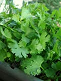 200+ Organic Cilantro Seeds- Chinese Parsley- Coriander- Herb Seeds by Ohio Heirloom Seeds