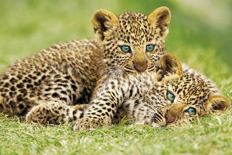 amazon com studio b cheetah cubs poster prints posters u0026 prints