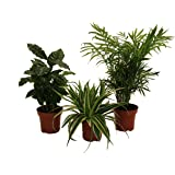 Amazon.de Pflanzenservice Amazon.de Pflanzenservice 890903 Indoor-Trio, Kaffee-Pflanze, Grünlilie und Zimmerpalme