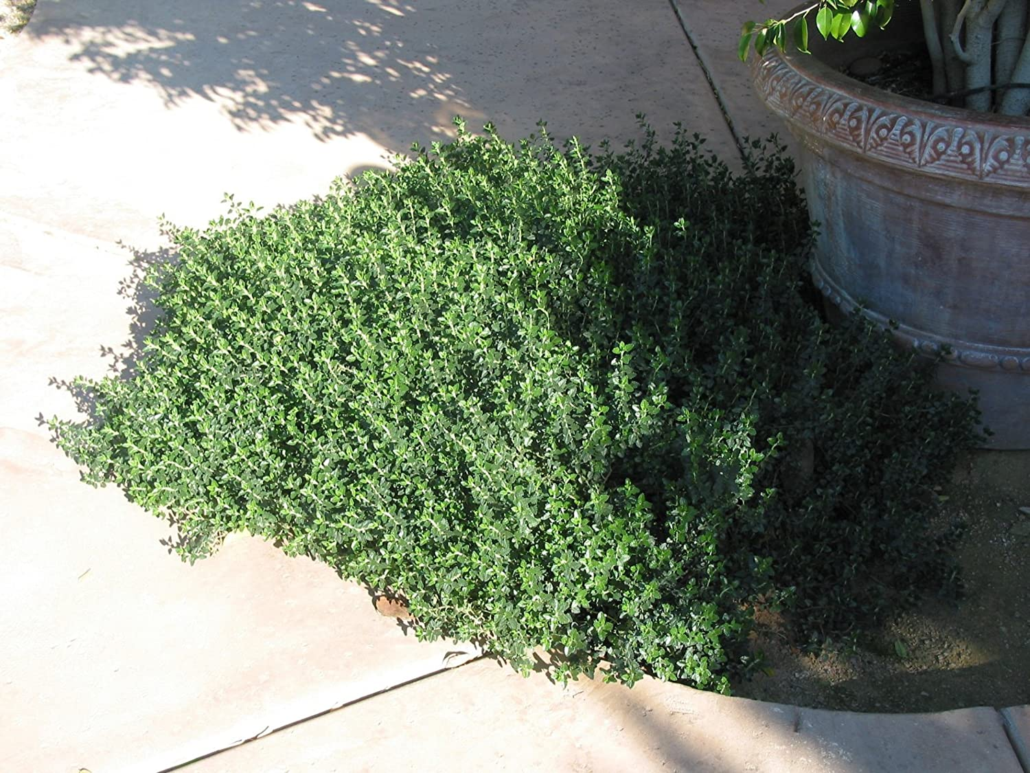 Picture of Live Prostrate Germander aka Teucrium cossoni majoricum Plant Fit 1 Gallon Pot