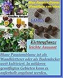 15x Passiflora Blue caerulea Seme Eye-catcher Pianta Frutto Frutta Rarità Nuovo Giardino #196