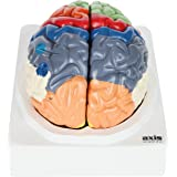 Axis Scientific Human Brain with Labeled Brain Regions, Life Size, Includes Colorful Product Manual, Storage Base, and a 3 Year Warranty