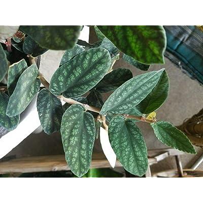 Polynesian Ivy - Satin Pellionia Pulchra - Variegated Low Light House Plant : Garden & Outdoor