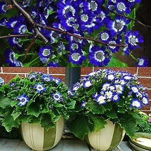Mixed Marigold Seeds 200 Pcs Color Zinnia Flower Plant Grass Bonsai Garden Decoration (Blue Cineraria Seeds)