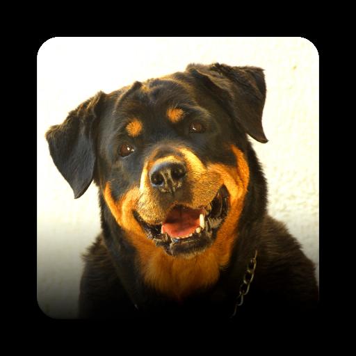 Rottweiler Wallpaper: Rottweiler Hd Pics Impremedia Net
