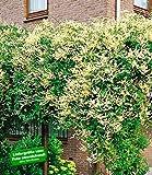 BALDUR-Garten Schling-Knöterich Schnellwachsende Kletterpflanze, 1 Pflanze Polygonum aubertii