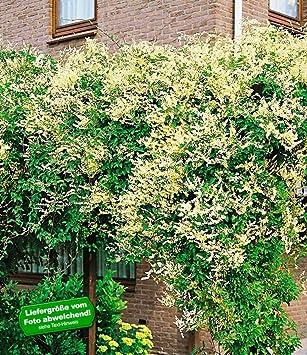 Baldur Garten Schling Knoterich Schnellwachsende Kletterpflanze 3