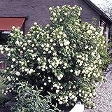 """Dominik Blumen und Pflanzen, Gefüllter Schneeball, Viburnum opulus """"Roseum"""" weiß blühend, 1 Strauch, 30 - 40 cm hoch, 3 Liter Container, plus 1 Paar Handschuhe gratis"""