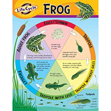 Amazon.com: Trend Enterprises Life Cycle of a Frog Learning Chart ...