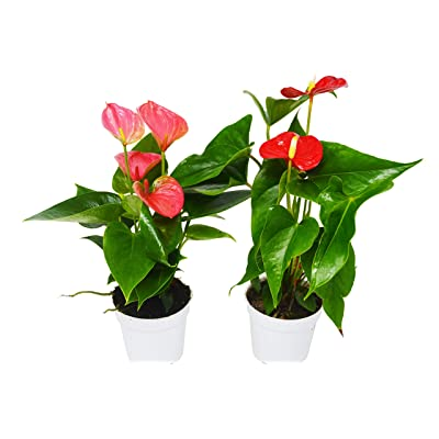 """2 Anthurium Variety Pack- All Different Colors - 4"""" Pots : Garden & Outdoor"""