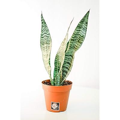 Pacific Tropicals &Succulents -Sansevieria Zeylanica Devil's Tongue-Live Indoor Plant-Ships in 4 inch Grow Pot-Homegrown : Garden & Outdoor