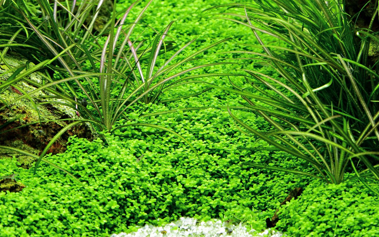 Tropica Hemianthus callitrichoides Cuba 1 - 2-grow Tissue Culture in vitro planta para Acuario Camarón Safe & Caracol libre: Amazon.es: Productos para ...