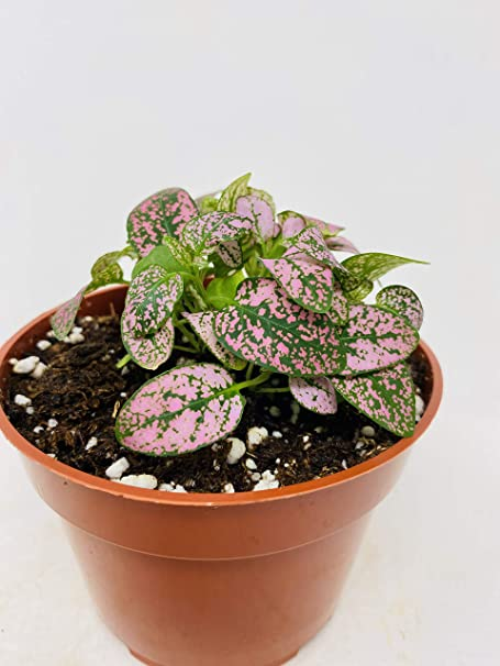 10 Fresh Rare Seeds Easy to Grow Tropical Indoor House Plant Pink Splash Polka Dot Hypoestes Phyllostachya Houseplant Seeds