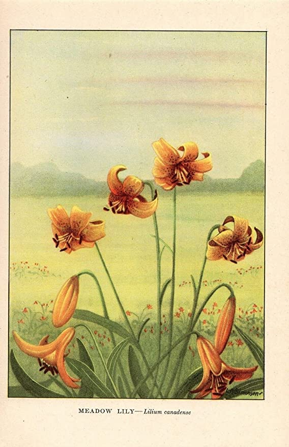 "1926 Vintage WILD FLOWER /""MEADOW LILY/"" GORGEOUS COLOR Art Print Lithograph"
