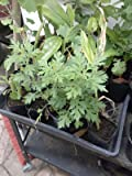"9EzTropical - Artemisia vulgaris - Mugwort - Ng?i c?u - 1 Plant - 4"" to 8"" Tall - 3"" Pot"