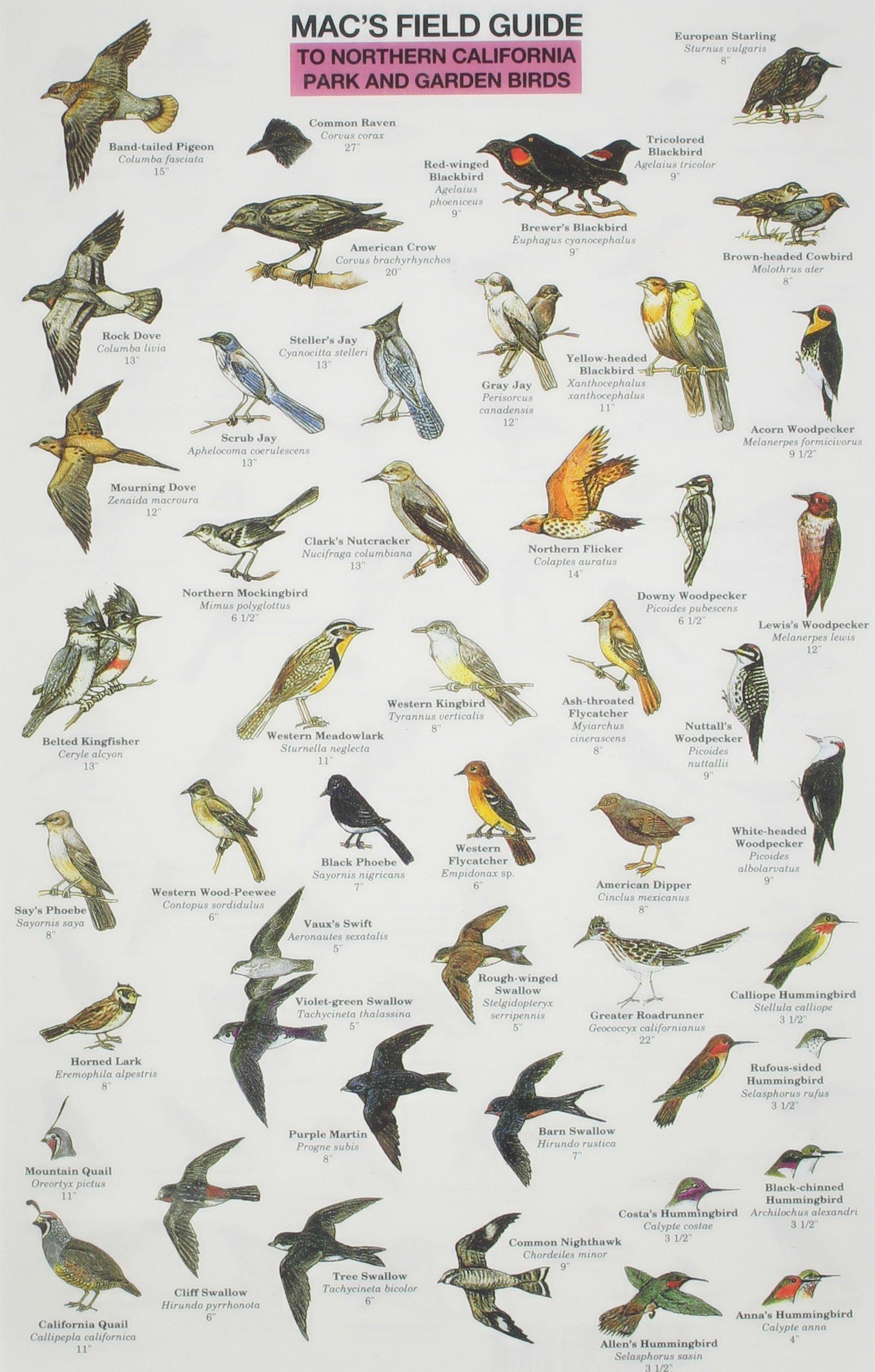 Mac S Field Guide Northern California Park Garden Birds Craig Macgowan 9780898863147 Amazon Com Books