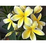 Hawaiian Rare Plumeria Frangipani Plant Planta Cuttings Red, White, Yellow, Pink - 10 Inch - Discount Hawaiian Gifts LQ4…