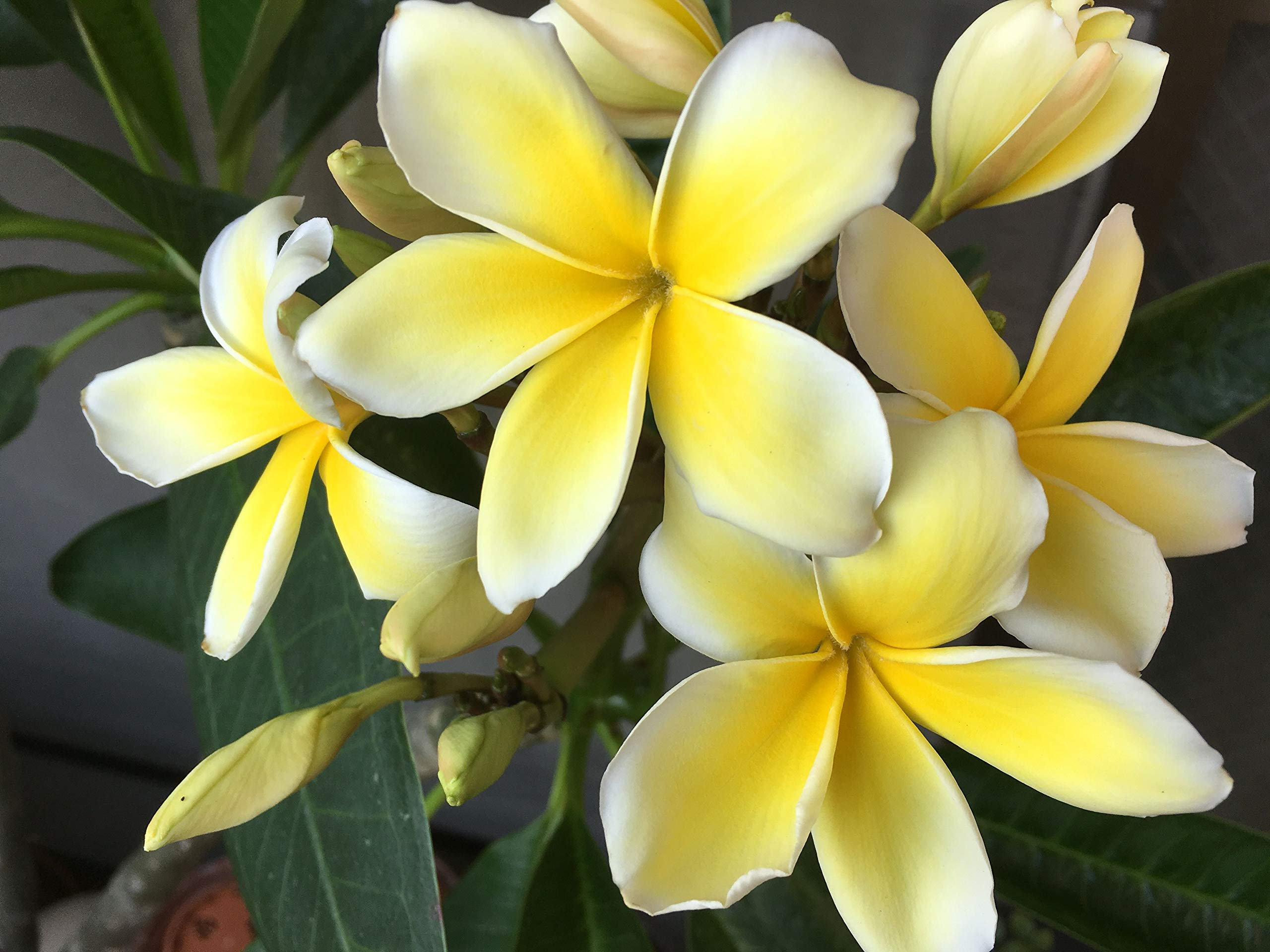 2Pk Live Plant Cutting Tropical Yellow Plumeria A6