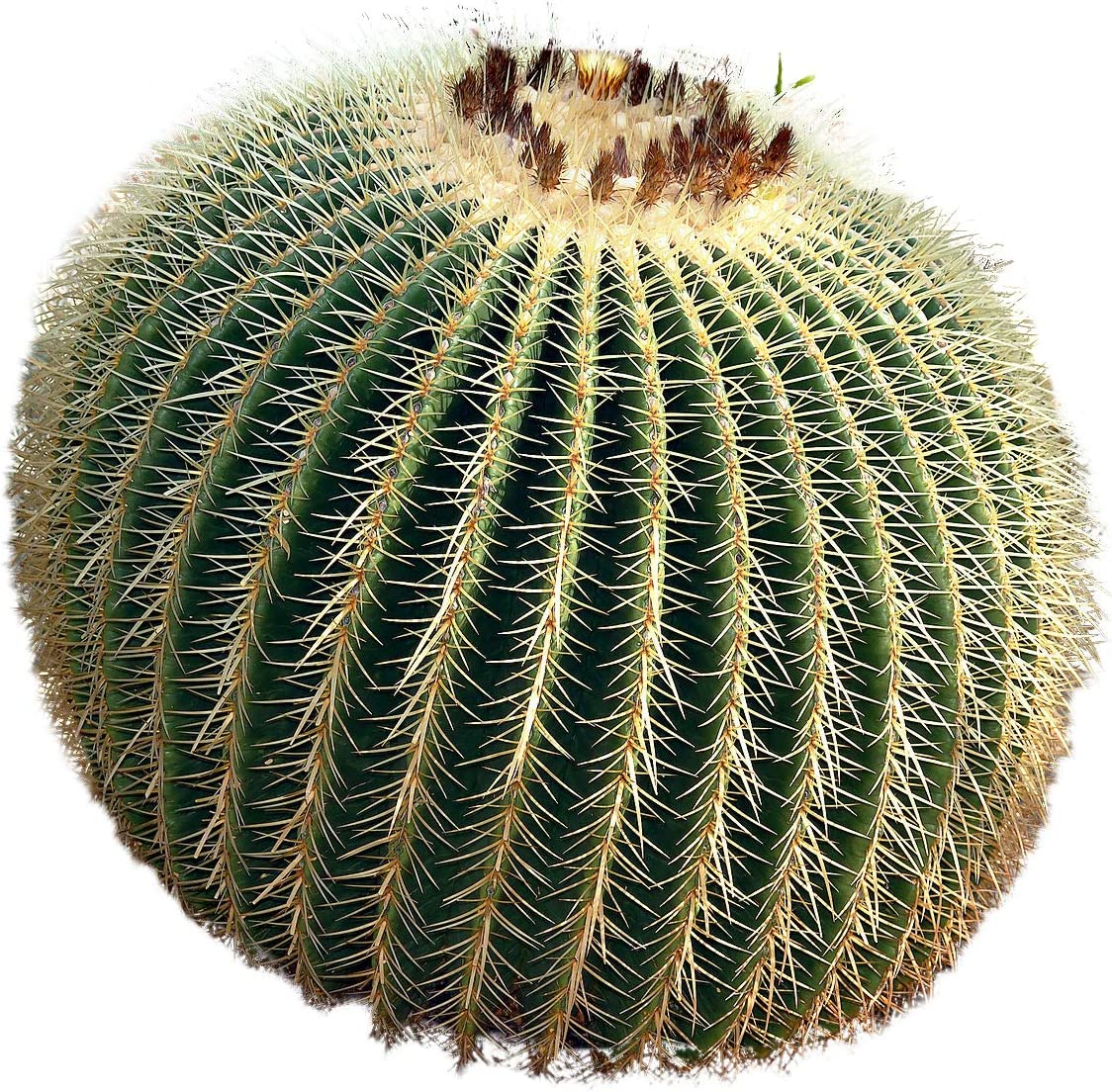 50 HIGH QUALITY SEEDS GOLDEN BARREL CACTUS ECHINOCACTUS GRUSONII